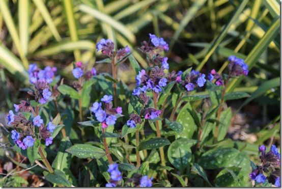 Pulmonaris 'Blue Ensign'