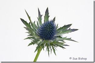 sea holly focus stacked