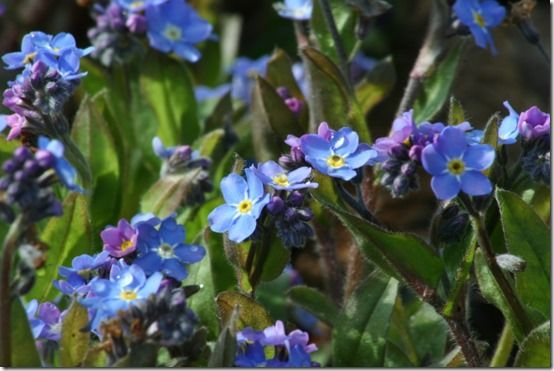 Forget me not - myosotis