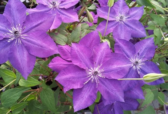 8 Clematis Amethyst Beauty (1280x872)