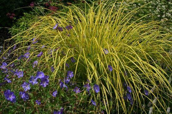 11 Carex elata 'Aurea'