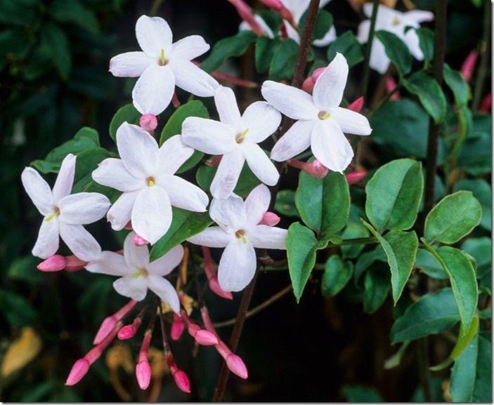 8 Jasminum-polyanthum(1)