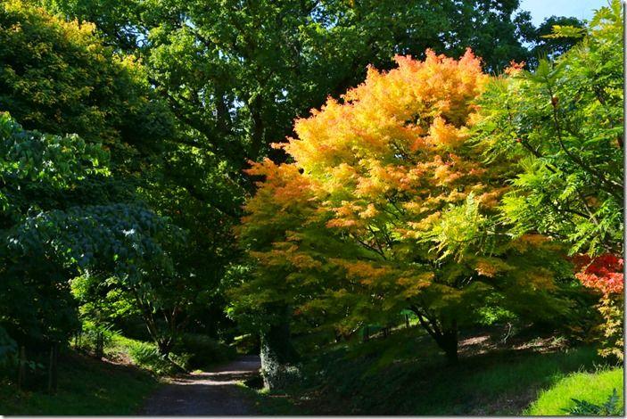 7 Acer palmatum 'Sango-kaku'
