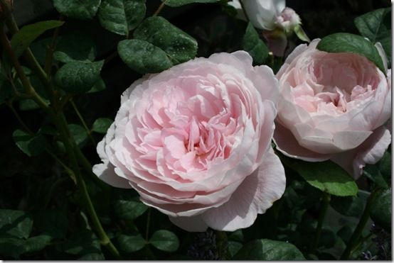 Rosa 'Queen of Sweden' 10