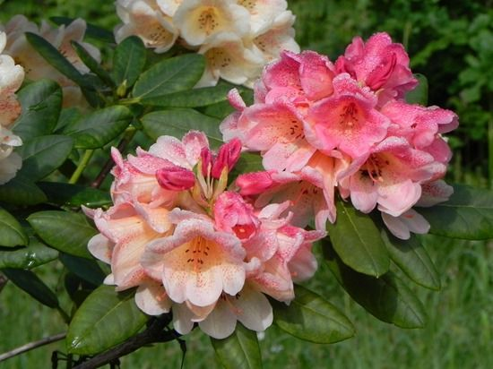9 Rhododendron 'Firelight'
