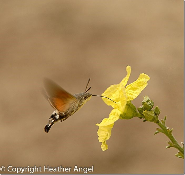 Hummingbird hawk-moth feeding on loofah
