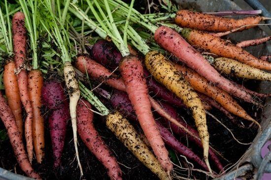 2 Rainbow carrots