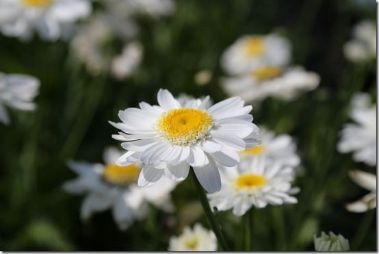 5 Leucanthemum 'Sunny Side Up', 10 Great Perennials To Grow For Cutting