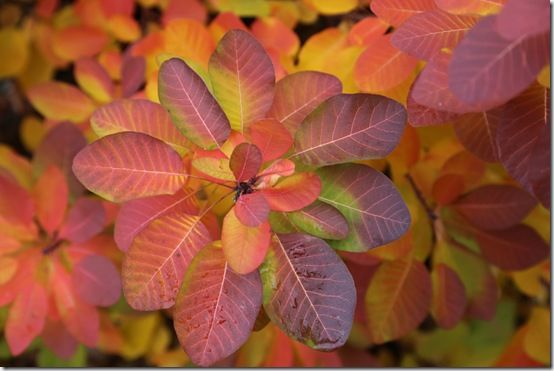 9 Cotinus 'Ruby Glow' autumn