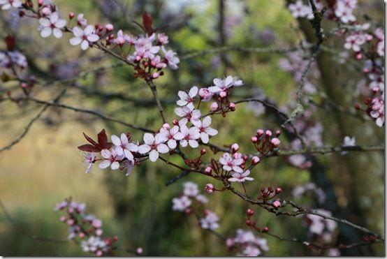 Prunus cerasifera 'spring glow'