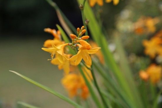 Crocosmia 'Buttercup