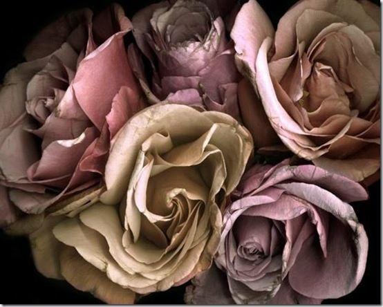 Dead Roses Pinterest