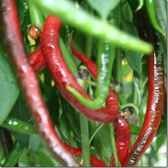 How to grow chillies - Gardening - Learning with Experts