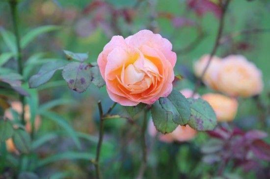 6 Rose with blackspot (640x427)