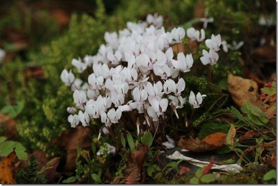 Cyclamen hederefolium