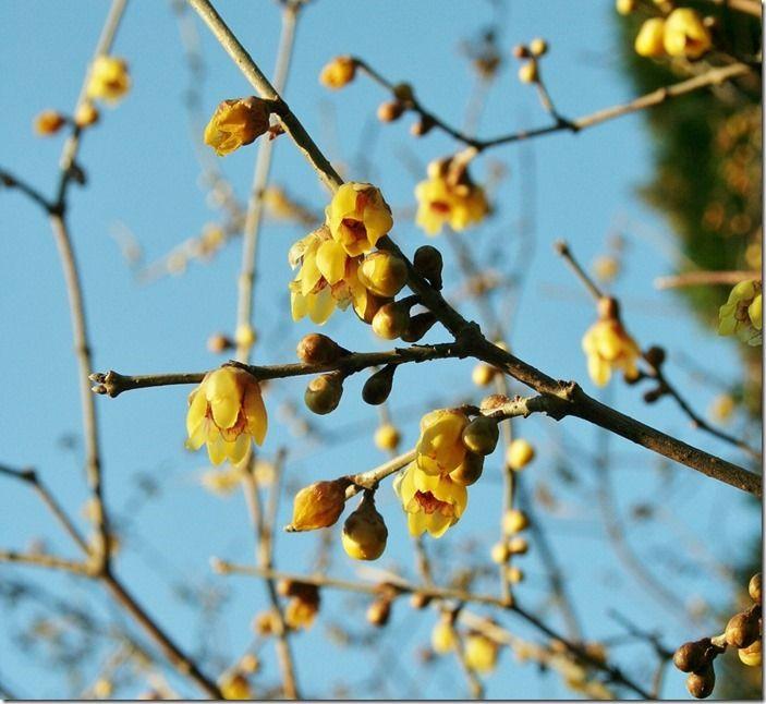 6 Chimonanthus praecox (1024x940)