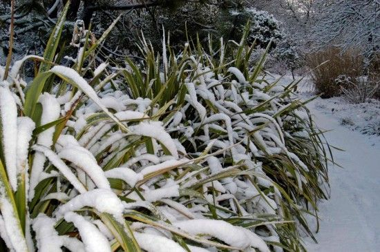 Phormiums in snow