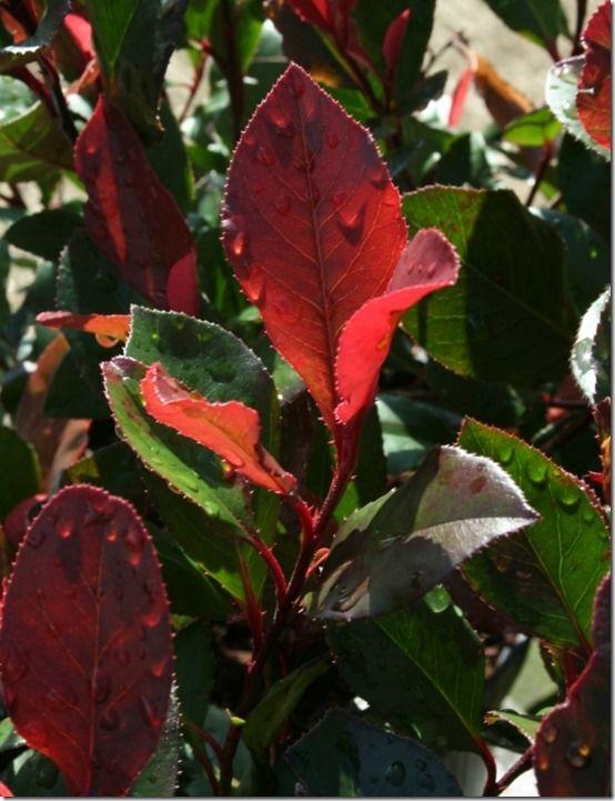 Photinia 'Little Red Robin'