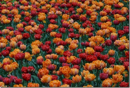 Tulip Orange Princess, Red Princess 61