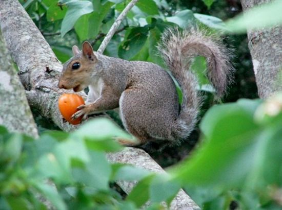 2 Squirrel eating tomato