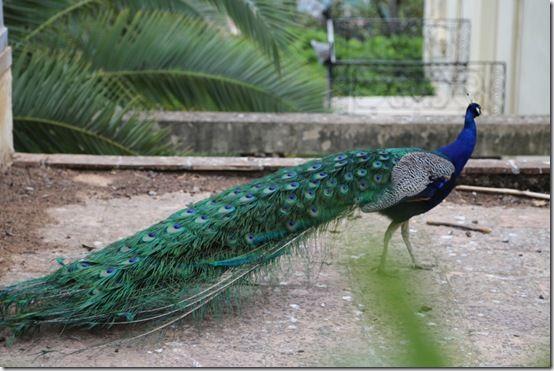 11 peacock