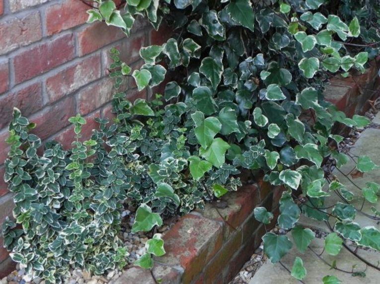 Euonymus fortunei 'Emerald Gaiety' and Hedera colchica 'Gloire de Marengo'