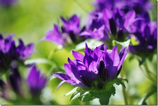 3 Campanula glomerata, 10 Great Perennials To Grow For Cutting