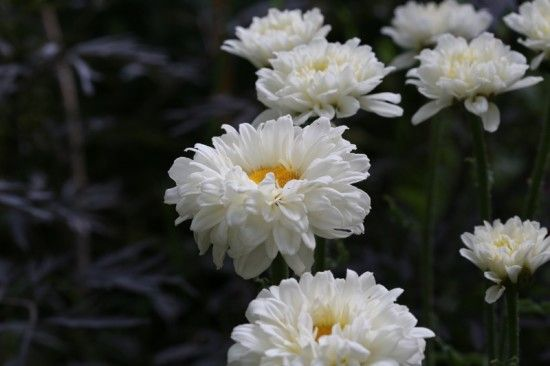 7 Leucanthemum 'Victorian Secret' (4) (800x533)