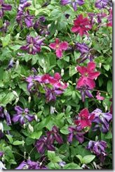 Growing 2 clematis together