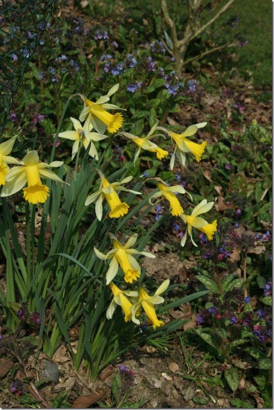 Narcissus lobularis