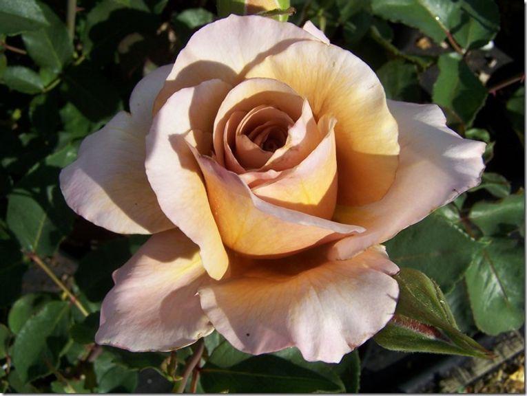 7 Julias Rose