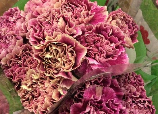 Carnation Antiqua