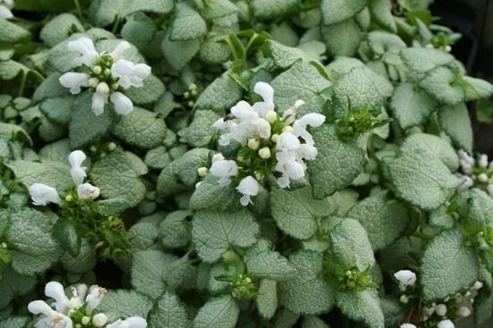 Lamium 'White Nancy' (1024x683)