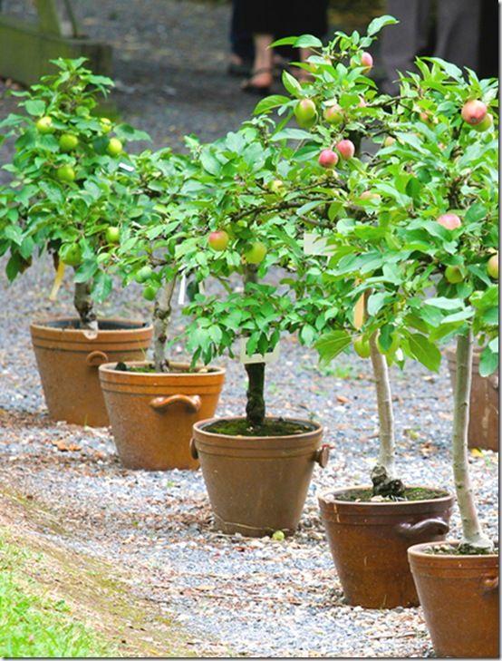 kleine Apfelbäume im Garten