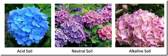 Understanding your soil, Acid Soil, Alkaline soil, gardening, Soil pH, Hydrangers, soil test kit, How to test soil, Gardening on Alkaline soil, Acid Soils, garden Lime