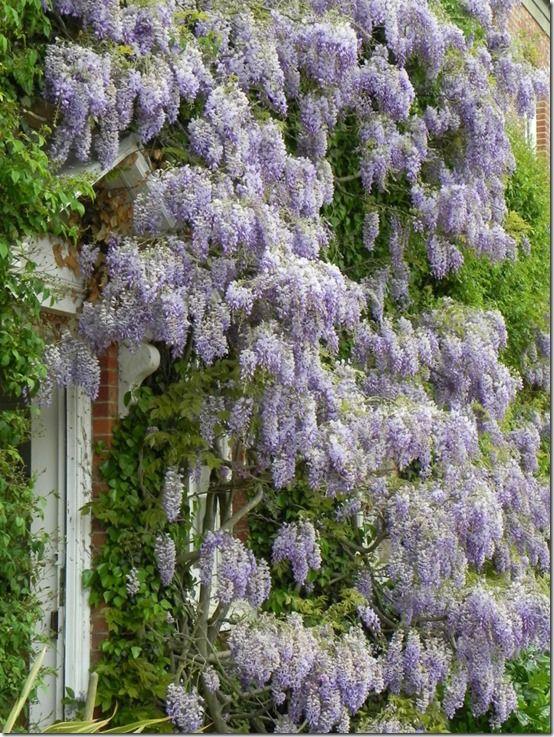 Mature wisteria