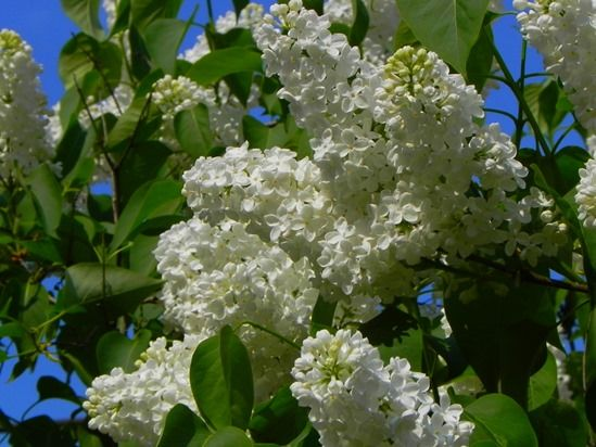 11 Syringa vulgaris 'Alba' (1024x768)