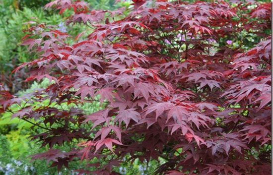 Acer palmatum Bloodgood'