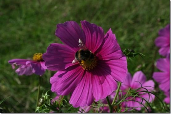 Cosmos with bee