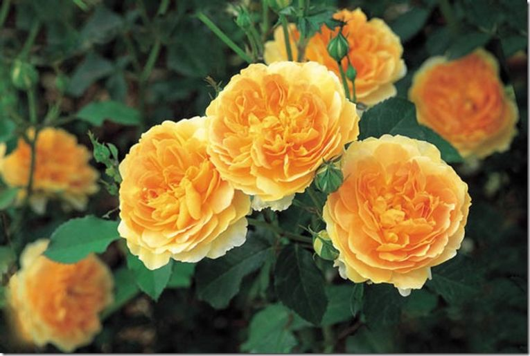 'Molineux' has rich yellow, full-petalled flowers in a beautiful rosette form with approximately 120 petals each. It is an excellent repeat-bloomer, flowering with exceptional freedom and continuity from early summer till hard frost. The fragrance is Tea Rose with a musky background. Gardeners in both hotter areas and colder zones will be pleased with this variety's performance. It grows to 3 ft tall by 2 ft wide. RHS 'Award of Garden Merit'. (David Austin 1994, Ausmol).