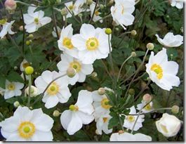 28. Anemone hybrida HonorineJobert[1]