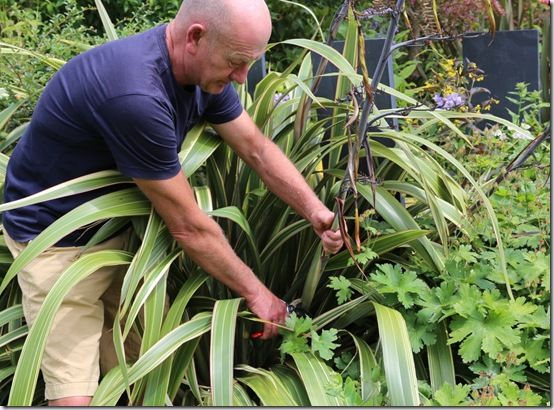 11 Cutting back phormium flowers