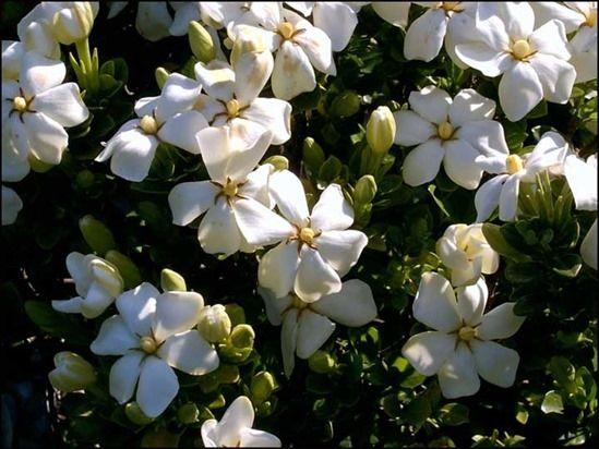 10 Gardenia'Kleim'sHardy'
