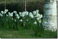 9. Narcissus 'Thalia' with birch