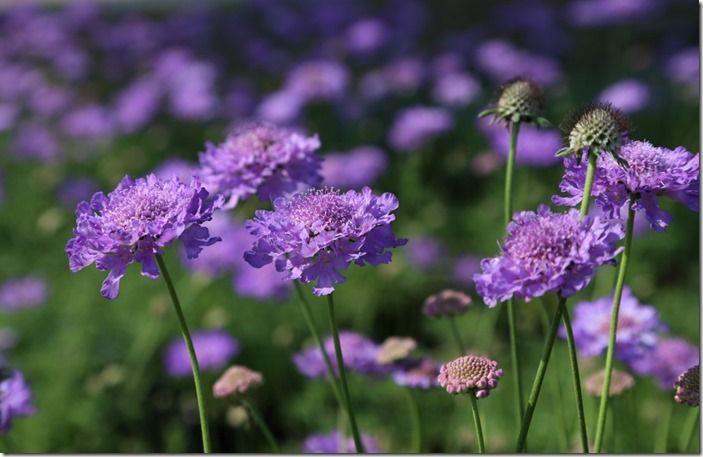 4 Scabiosa 'Vivid Violet' (1024x664)