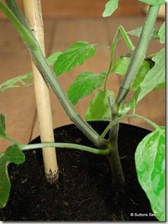 Grafted Duo tomato plant<br /> <br>Suttons