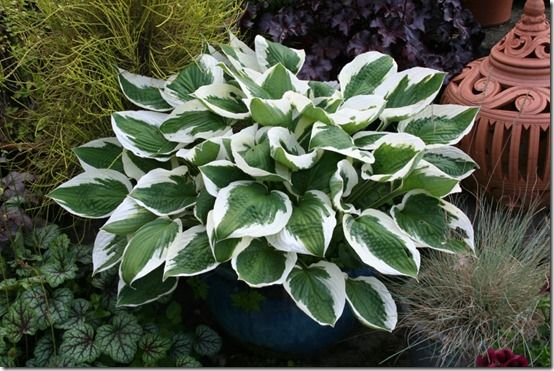 Hosta 'Patriot' 2