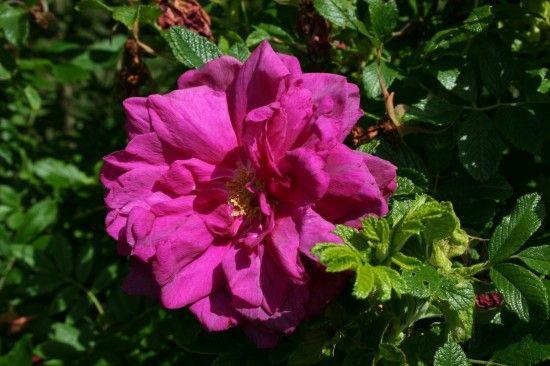 5 Rosa 'roseraie de l'Hay' (1280x853)