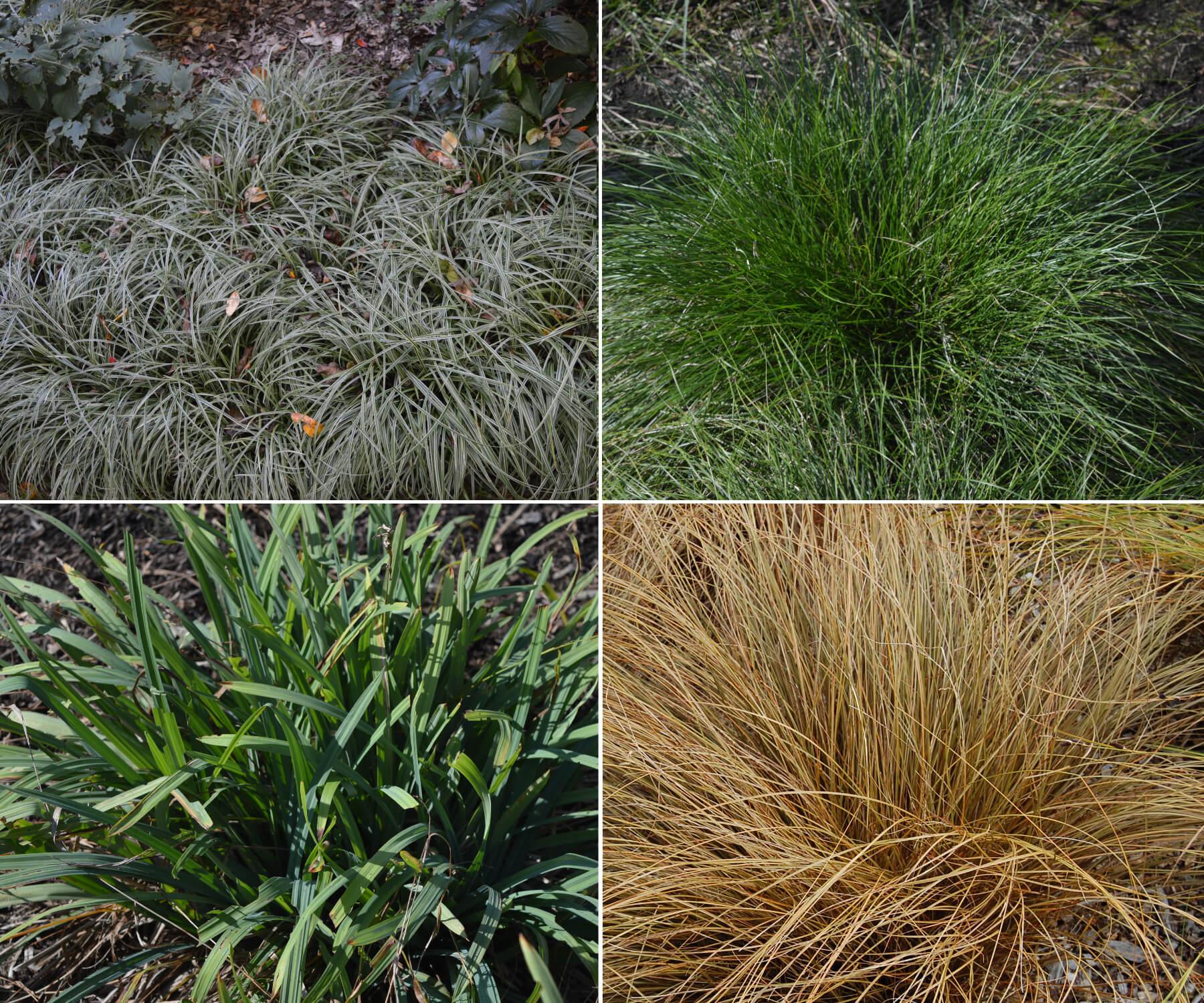 Sedges, Carex species; C. 'Silver Sceptre', C. bromoides, C. flaccosperma, C. comans.