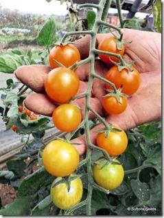 Tomato Orangino<br /> <br>Suttons